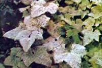 Мучнистая роса огурцов