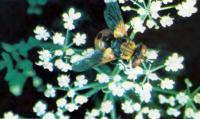 Муха-тахина — опыление и контроль за вредителями