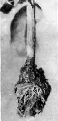На воздушном отводке образовались корни