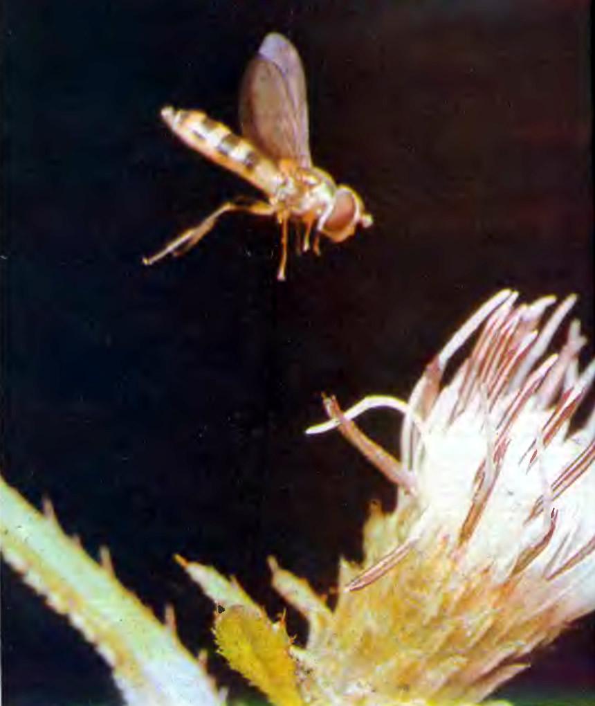 Над цветком зависла муха-журчалка