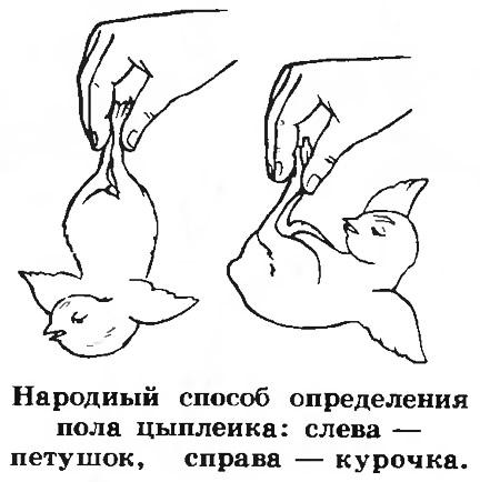 Народный способ определения пола цыпленка