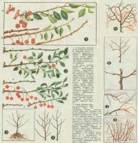 Обрезка и омоложение веток вишни
