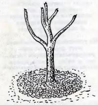 Круги у стволов деревьев из битого кирпича