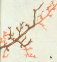 Омолаживание полускелетной ветки и расположенных на ней плодух