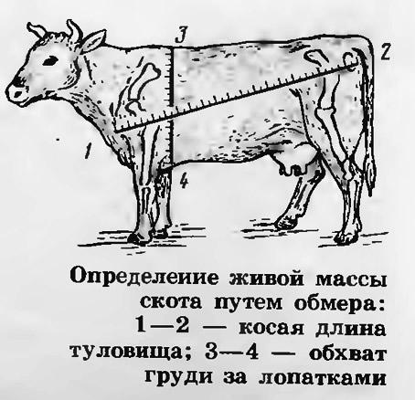 Определение живой массы скота путем обмера