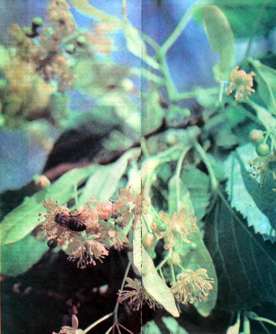 Пчела-сборщица на цветке