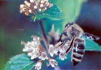 Долгосрочный прогноз погоды с помощью пчел