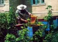 Среднерусские лесные, кавказские и другие породы пчел