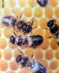Болезни пчел и лекарства против них