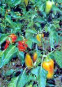 Выращивание ранних томатов под Москвой