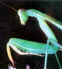 Богомол — полезное насекомое на огороде