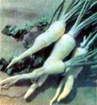 Петрушка корневая