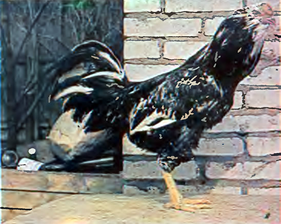 Петух орловской породы (ситцевой расцветки)
