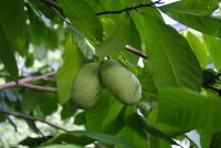 Плодовое растение азимина