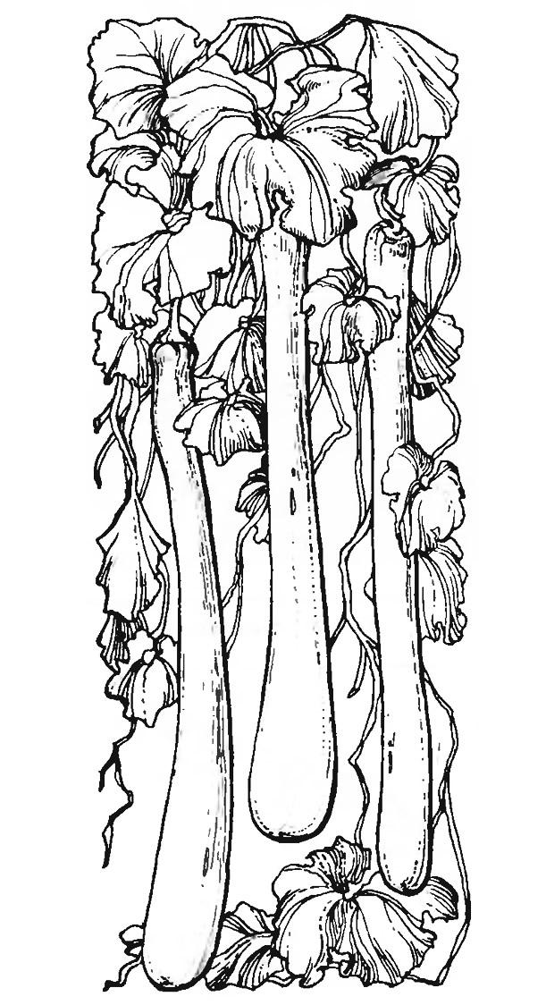 Плоды лагенарии