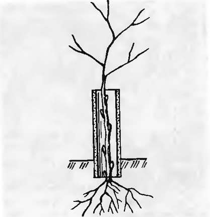 Получение штамба растения