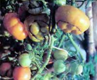 Выращивание помидоров в условиях Среднего Урала