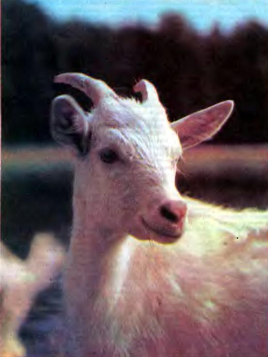 «Портрет» козы