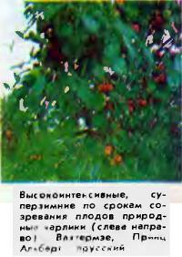 Природные карлики Вахтермзе, Принц Альберт