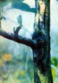 Прививка плодоносящей ветвью дерева старше 25 лет