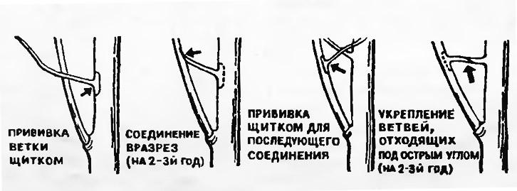Прививка ветки щитком