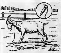 Разведение пуховых коз и уход за ними