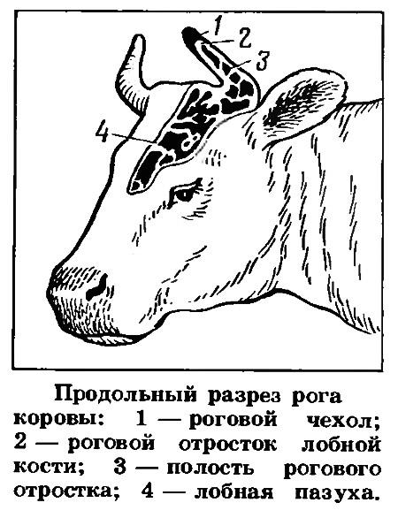 Продольный разрез рога коровы