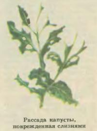 Рассада капусты, поврежденная слизнями
