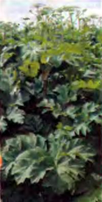 Растение Борщевик Сосновского