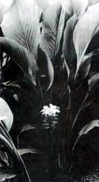 Растение куркума