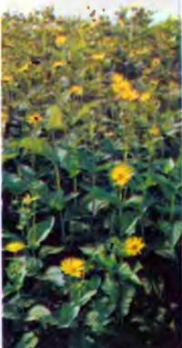 Растение Сильфия пронзеннолистная