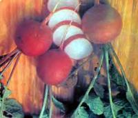 Выращивание редиса с весны до поздней осени