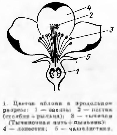 Рис. 1. Цветок яблони в продольном разрезе