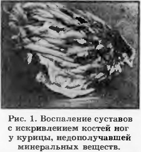 Рис. 1. Воспаление суставов с искривлением костей ног у курицы