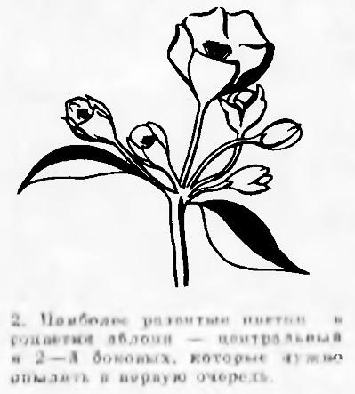 Рис. 2. Наиболее развитый цветок в соцветии