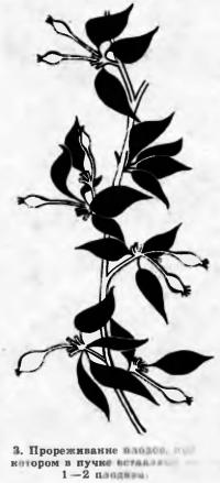 Рис. 3. Прореживание плодов