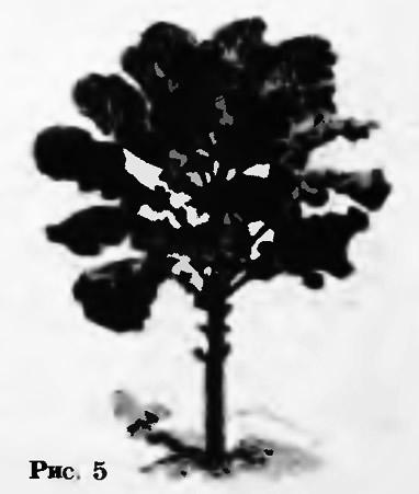 Рис. 5. Силос из кормовой капусты