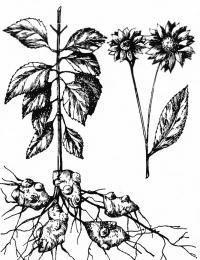 Рисунок топинамбура
