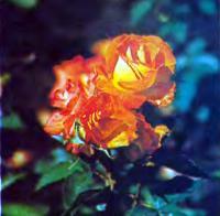 Роза сорта Эстер Офарим (Флорибунда)