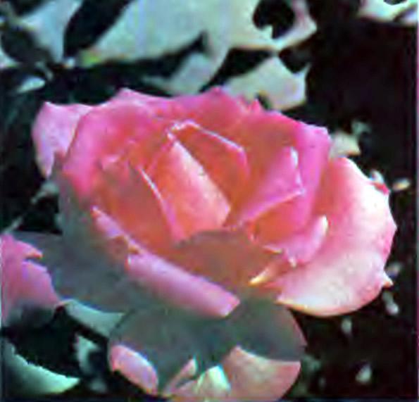 Роза сорта Эйфель товорн (чайно-гибридная)