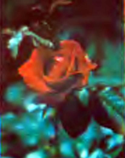 Роза сорта Нина Вайбулл (Флорибунда)