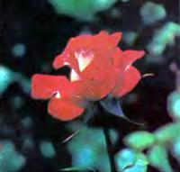 Роза сорта Саспенс (чайно-гибридная)