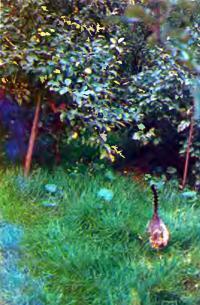 Сад, залуженный полевицей побегоносной, не требует перекопки земли и кошения травы