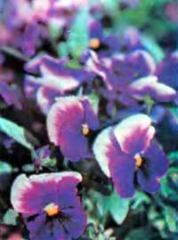 Выращивание цветов анютины глазки
