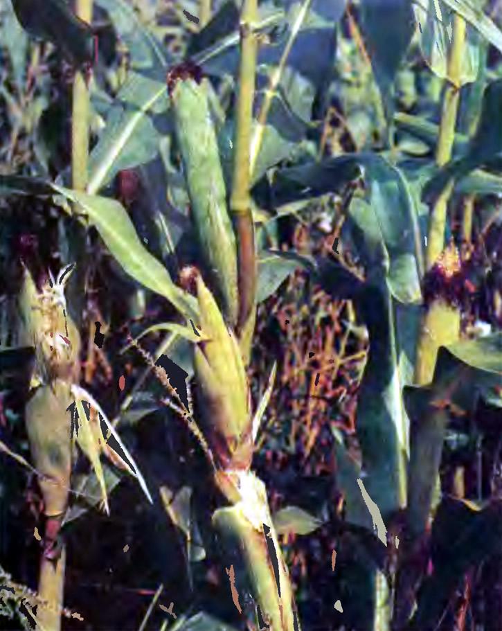 Сахарная кукуруза в фазе молочной спелости