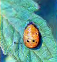 Личинка семиточечной коровки — гроза тлей