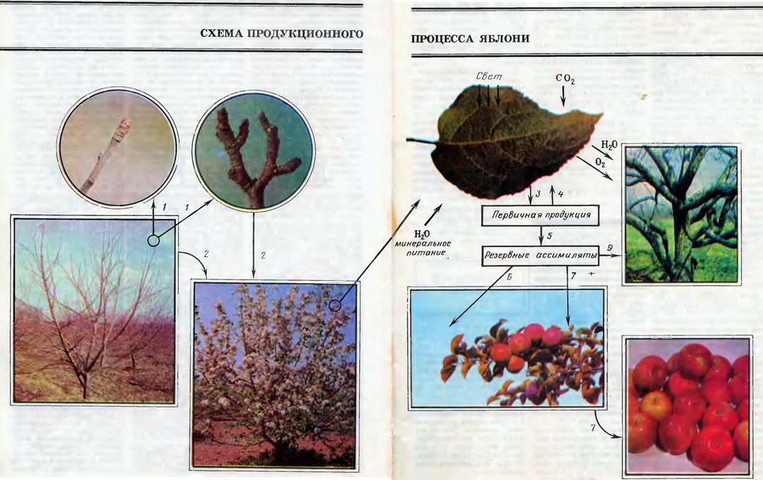 Схема продукционного процесса яблони