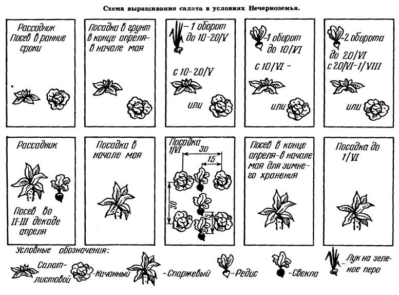 Схема выращивания салата в условиях Нечерноземья