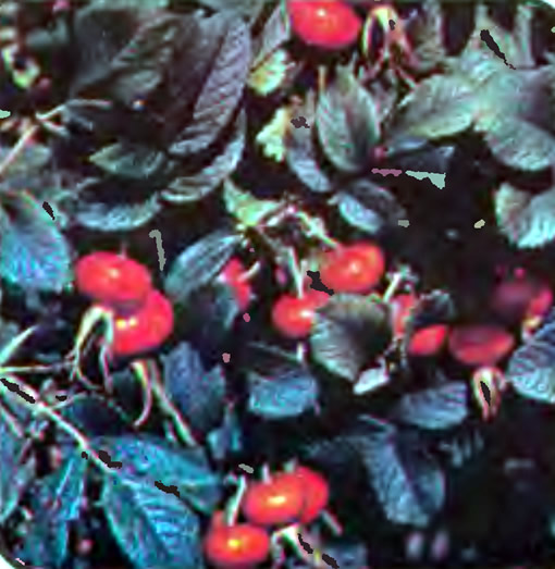 Шиповник сорта Крупноплодный