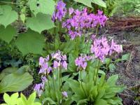 Сиренево-розовые цветки додекатеона